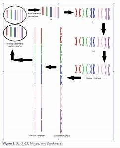 Solved  Meiosis Flow Chart