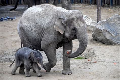 elephant adapted animals protect ways zoo humans animal themselves elephants most against france person cheatsheet heartbreaking