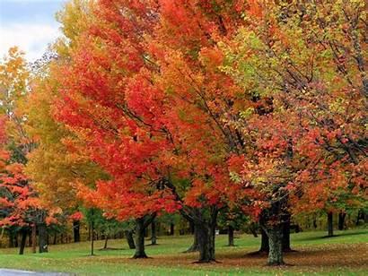 Maple Fall Tree Bright Sugar