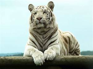 White Tigers Beautiful Latest Hd Pictures/Wallpapers 2013 ...