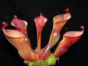 Heliamphora Heterodoxa X Ionasii Pictures