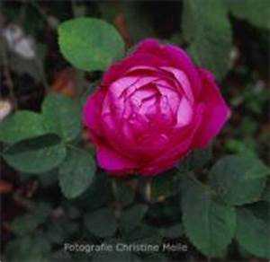 Alte Rosensorten Stark Duftend : rosensorten duftrosen anj anja anna de diesbach anna ~ Michelbontemps.com Haus und Dekorationen