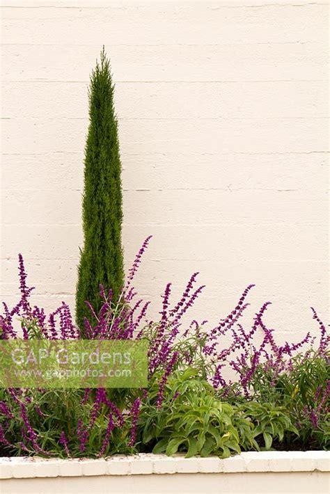 cupressus sempervirens monshel gap gardens concrete planter with cupressus sempervirens monshel tiny tower italian cypress
