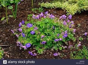 geranium rozanne cranesbill flowers perennials blue purple ...