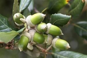 Resume Introduction Chêne Vert Quercus Ilex Taille Bouturage Entretien