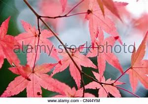 Ahorn Rote Blätter : acer palmatum japanischer roter ahorn stockfoto bild 73458591 alamy ~ Eleganceandgraceweddings.com Haus und Dekorationen