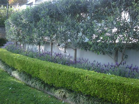 olive tree landscape olive trees privacy screen garden ideas pinterest screens gardens and tree garden
