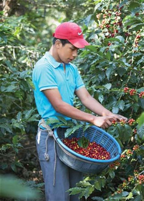 You can get the best discount of up to 80% off. Coffee production | plant genus | Britannica.com