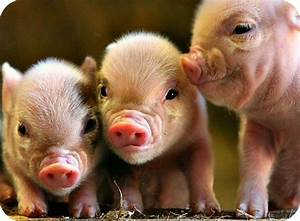 I Am A Millionaire That Is My Religion  Piggery Business