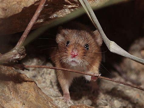 Minimaus Die Kleinsten Mäuse Der Welt Im Botanischen