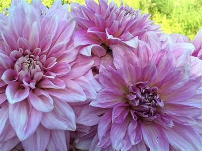 Shiloh Dahlia Noelle Dahlias Flowers Dinnerplate Mid