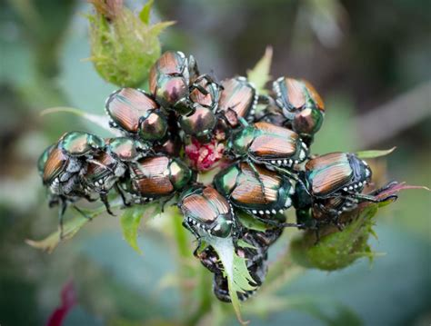 Japanese Beetle Swarms Are Worse Than Ever This Year, And
