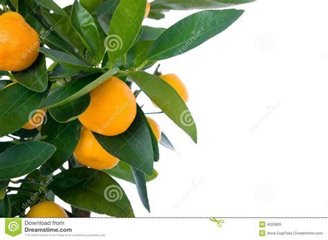 Citrus Tree With Fruit Small Orange Stock Image Image
