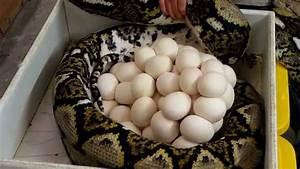 Record Breaking Giant Python Eggs