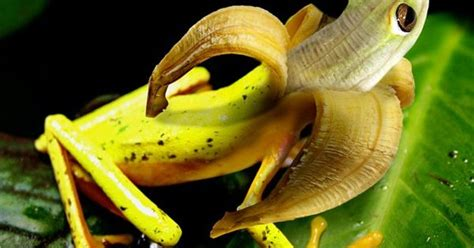 frog banana hybrid animais pinterest frogs animal  photoshopped animals