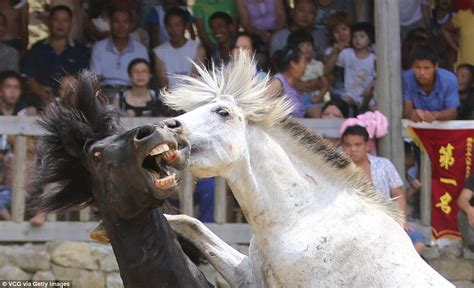 horses kick mare horse end animal each bite china biting brutal bid win heart bet battle campaigning treated fights insist