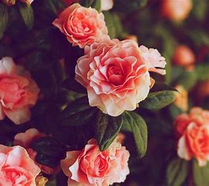 Tumblr Backgrounds Red Roses images