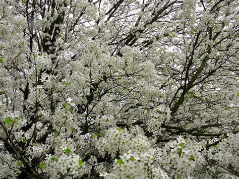 a tree with white flowers file spring tree flowers white west virginia forestwander jpg wikimedia commons