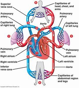 I Explain Briefly The Structure Of The Human Heart  Ii