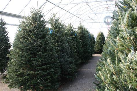 fresh cut christmas tree  fresh greens