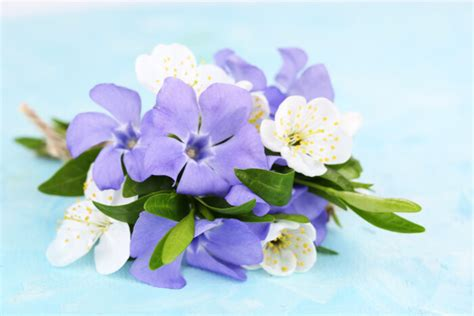 periwinkle flower meaning flower meaning