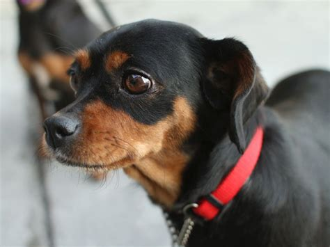 99 best images about miniature pinscher dogs on pinterest