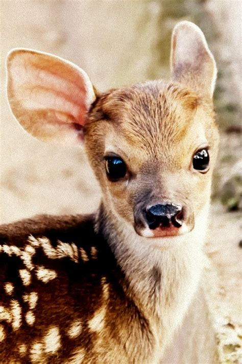 baby deer pictures   images  facebook