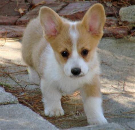 cardigan welsh corgi puppies rescue pictures