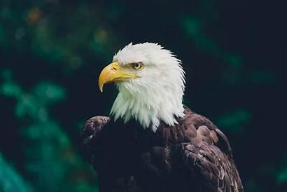 Eagle Wildlife Bird Glance Unsplash 4k Bald