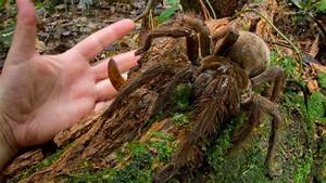 Worlds Largest Spider Found In Guyana****- trinituner.com