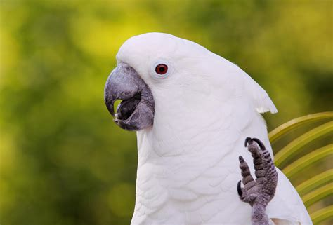 Umbrella Cockatoo Bird Species Profile