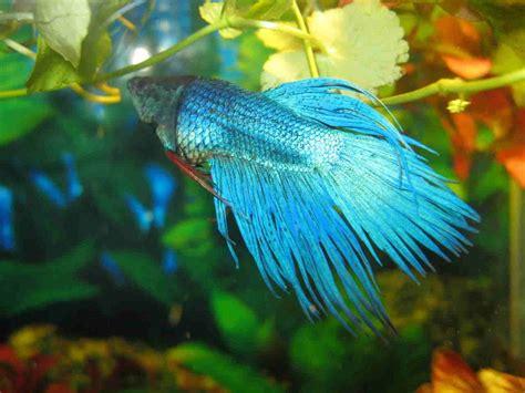 betta fish  definitive guide care types tank mates
