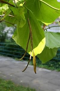 Baum Mit Langen Schoten : bild 7 aus beitrag welcher baum ist das ~ Lizthompson.info Haus und Dekorationen