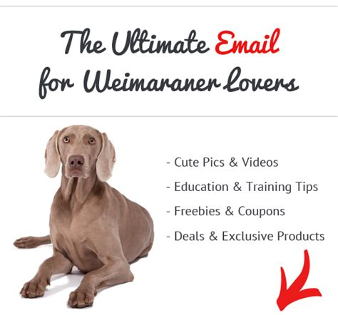 do weimaraner dogs shed a lot how active are weimaraners advice from real weimaraner