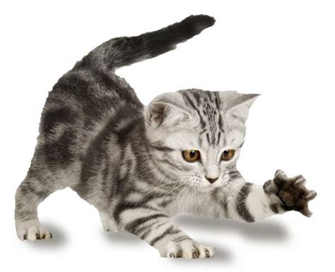 cosas   sabias sobre los gatos
