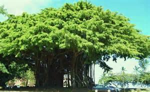 Banyan Tree Hawaii