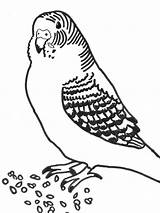 Coloring Pages Printable Budgie Parakeet Parakeets Bird Drawing Parrots Printablee Number Getdrawings Animationsa2z Via sketch template