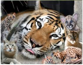the big cat meet the cats of big cat rescue big cat rescue