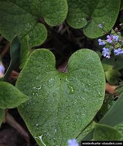 Winterharte Stauden Halbschattig : kaukasus vergissmeinnicht brunnera macrophylla ~ Michelbontemps.com Haus und Dekorationen