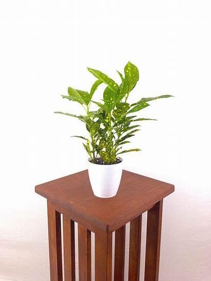 Plant Codiaeum Indoor Variegatum Croton Office Plants