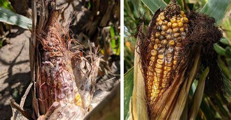 gibberella  fusarium ear rots developing  corn