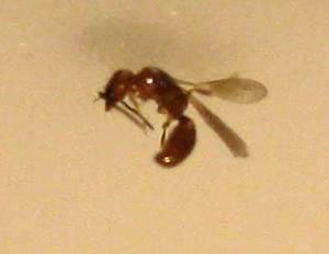 Ameisen In Der Wand : insekten gefunden sch dlinge ~ Frokenaadalensverden.com Haus und Dekorationen