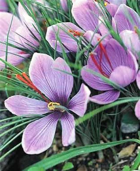 crocus sativus saffron bulbs autumn flowering crocus bulbs