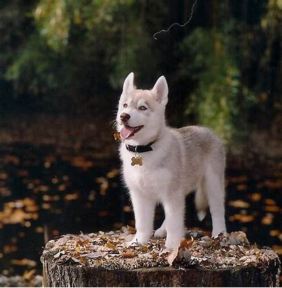 Husky Siberian Huskies Puppies Wallpapers Pup Puppy