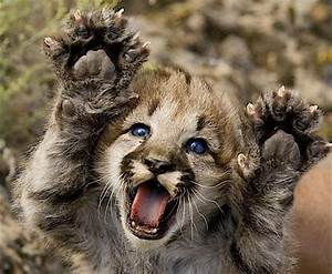 236 best Felidae 14: Mountain Lion, Cougar images on ...