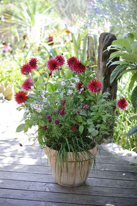 plant dahlias in pots 17 best images about late summer pots on samba purple and lavandula angustifolia