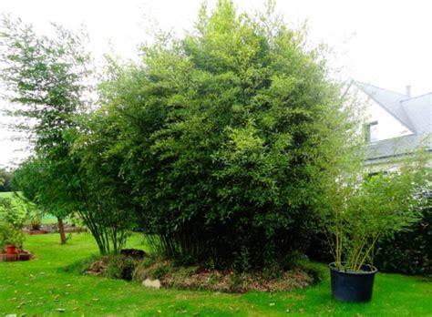 bambou phyllostachys bissetii en pot phyllostachys vivax huangwenzhu l esp 232 ce de