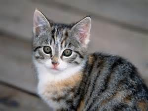 tabby cat breeds tabby cats pictures and info