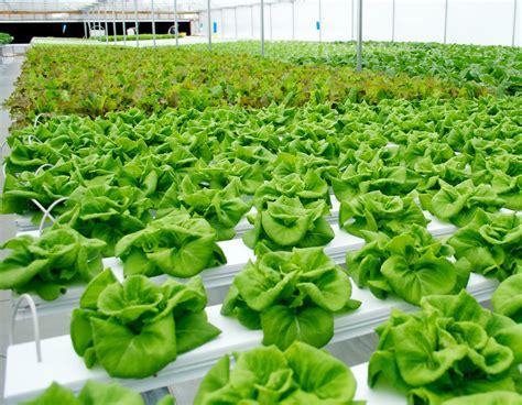 mengenal  tanaman  dibudidayakan secara hidroponik