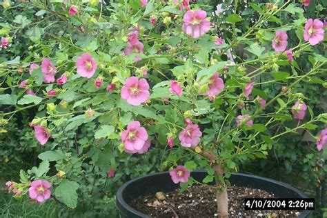 cape mallow plantfiles pictures cape mallow tara s pink anisodontea by clare ca